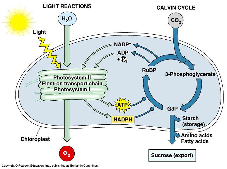 Photosynthesis atp biology cell eng photosynthesis plant light reaction cycle ccuart Images